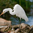 Great White Egret Bokeh — Stock Photo #7806720