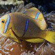 Clown fish of Rangiroa atoll — Stock Photo