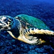 Hawksbill turtle (Eretmochelys imbricata) — Stock Photo