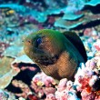 Moray eel (Gymnothorax javanicus) — Stock Photo