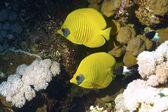 Butterfly fish half concealin (Chaetodon semilarvatus) — Stock Photo