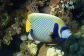 Emperator angelfish (Pomacanthus imperator) — Stock Photo