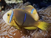 Clown fish of Rangiroa atoll — Stock Photo
