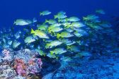 Lutjan of Rangiora atoll — Stock Photo