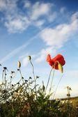 Céu de papoula — Foto Stock