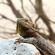 Australian Bearded Dragon - Pogona Vitticeps — Stock Photo