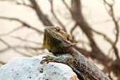 Australian Bearded Dragon - Pogona Vitticeps — Stock Photo