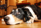 Border Collie resting — 图库照片