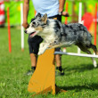 Stock Photo: AustraliShepherd Agility