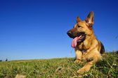 German Shepherd in the field — Stock Photo