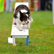 Royalty-Free Stock Photo: Border Collie Agility in contest
