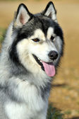 Siberian Husky — Stock Photo