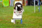 Border Collie Agility in contest — Stock Photo