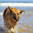 GermShepherd on beach — Stock Photo #7114291