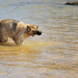 German Shepherd on the beach — Foto de Stock