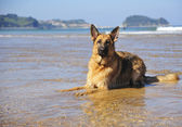 German Shepherd on the beach — Stock Photo