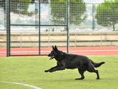 Competition of German Shepherds — Stock Photo