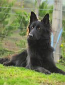 Belgian Shepherd Groenendaell — Stock Photo