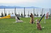 Dog agility track — Stock Photo