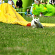 Agility dog competition — Stock Photo
