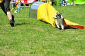 Australian Shepherd in Agility competition — Stock Photo