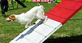 Breton spanie i agility tävling — Stockfoto