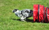 Australian Shepherd in Agility competition — Stock Photo