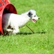 Stock Photo: Spanish Water Dog in Agility competition
