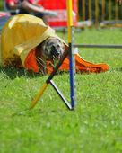 çeviklik yarışmasında belçika çoban — Stok fotoğraf