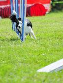 Border collie na competição de agilidade — Foto Stock
