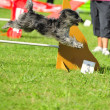 Briard in Agility competition — Stock Photo