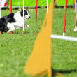 Border collie in Agility competition — Stock Photo #7603844