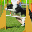 Border collie in Agility competition — Stock Photo #7603847