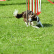 Border collie in Agility competition — Stock Photo #7603856