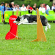 Border collie in Agility competition — Stock Photo #7603883