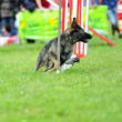 Stock Photo: Czechoslovak Pastor in Agility competition