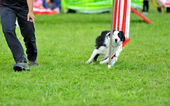 Collie de frontera en la competencia de agilidad — Foto de Stock