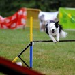 Border collie in Agility competition — Stock Photo #7701740