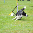 Border collie in Agility competition — Stock Photo #7701777