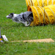 AustraliShepherd in Agility competition — Stock Photo #7701898