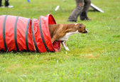 Boxer in Agility competition — Stock Photo