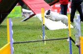 Spanish Water Dog in Agility competition — Stock Photo