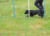English Cocker spaniel in Agility competition — Stock Photo