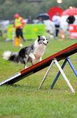 Australský ovčák závodí — Stock fotografie