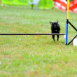 Stock Photo: Carlino in Agility competition