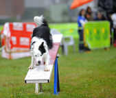 Border collie in Agility competition — Stock Photo