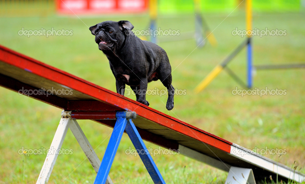 Carlino in agility test at the obstacle of rocker — Stock Photo #7778262