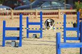 Border Collie agility test — Stock Photo