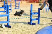 Střední knírač agility v soutěži — Stock fotografie