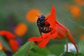 Bumblebee — Foto Stock